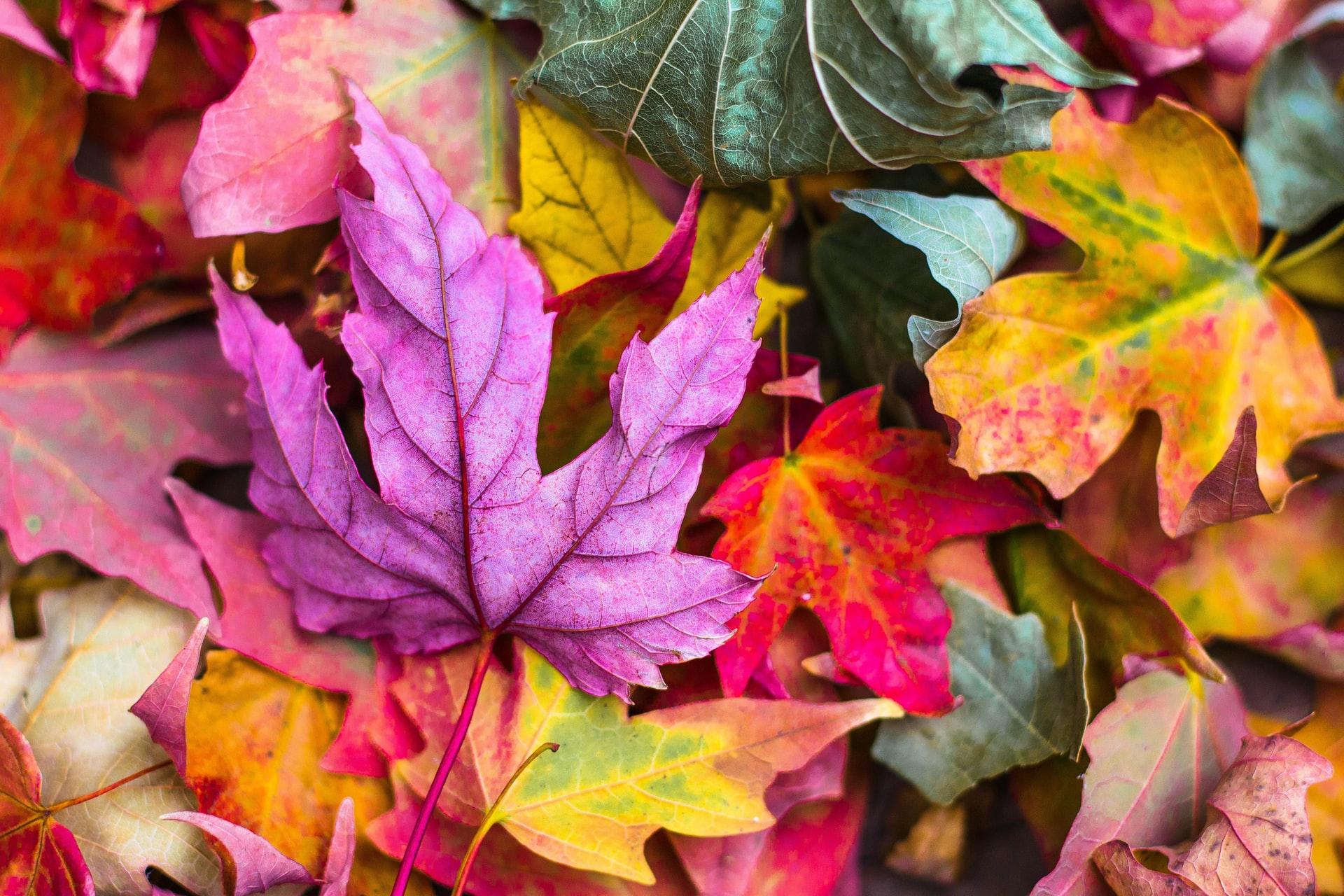 Pourquoi les feuilles tombent-elles des arbres en automne ? 1